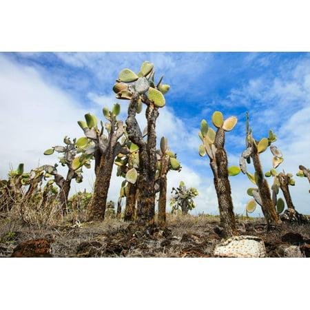 view of an area with opuntia cactus at galapagos island of santa cruz print by blueorange studio