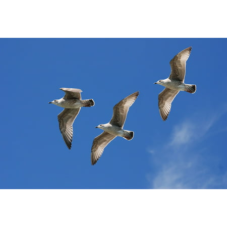 LAMINATED POSTER Seagull Wings Feather Gulls Sky Flight Poster Print 11 x 17