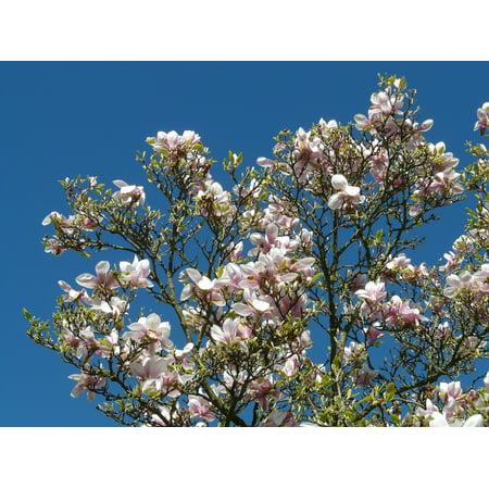 LAMINATED POSTER Magnolia Tulip Magnolia Bush Tree Magnoliengewaechs Poster Print 24 x 36