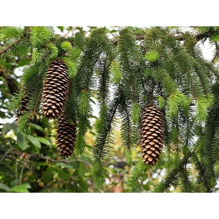 Norway Spruce Picea Abies Quart Pot Walmartcom