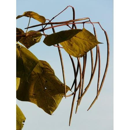 - LAMINATED POSTER Tree Pods Ornamental Catalpa Fruits Light Green Poster Print 24 x 36