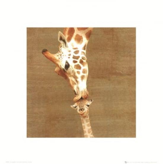 First Kiss - Giraffes Poster Print (16 x 16)