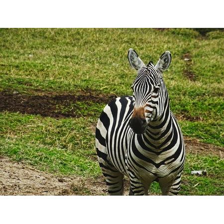 Zebra Animal Stripe (LAMINATED POSTER Nature Striped Zebra Zoo Zebra Crossing Animal Poster Print 24 x 36)