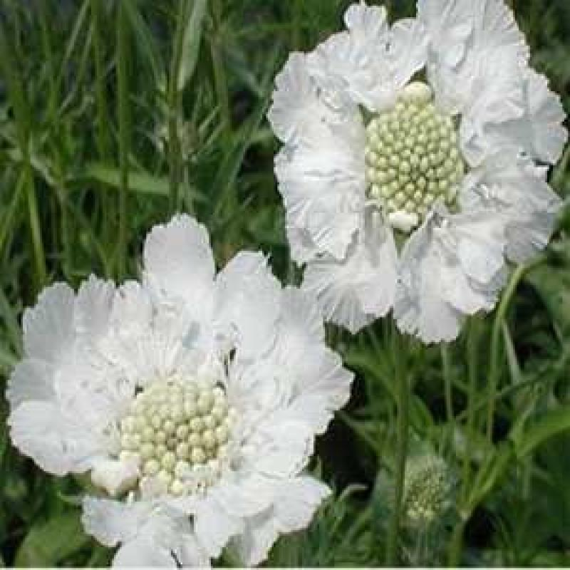 Outsidepride Scabiosa White - 400 Seeds