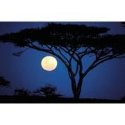 Acacia Tree in Moonlight Tarangire Tanzania Stretched Canvas - Marilyn Parver  DanitaDelimont (18 x 12)