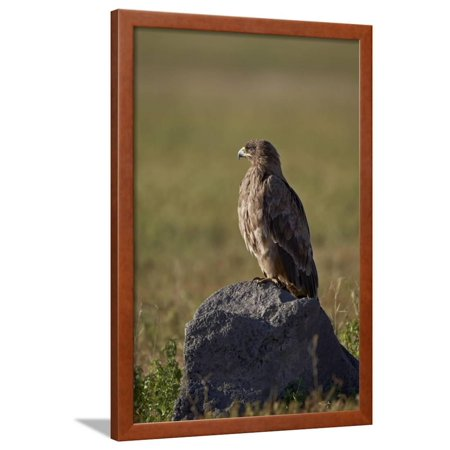 Tawny Eagle - Tawny Eagle (Aquila Rapax), Ngorongoro Crater, Tanzania, East Africa, Africa Framed Print Wall Art By James Hager