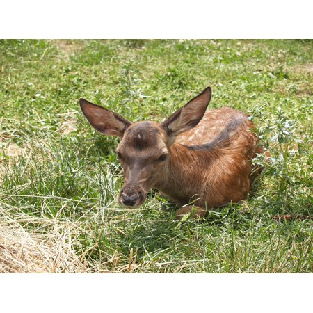 Laminated Poster Bambi Nature Deer Sunshine Kid Green Green Grass Poster Print 11 x 17