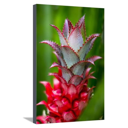 Hawaii, Maui, Pineapple Bromeliad Growing in the Country Side Stretched Canvas Print Wall Art By Terry Eggers