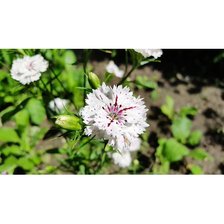 LAMINATED POSTER Carnation Dianthus White Sweet William Dianthus Poster Print 24 x 36