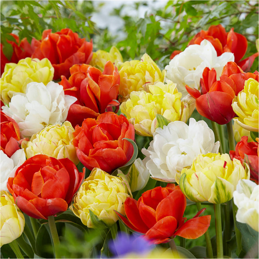 Image of Bloomsz Double Late Tulip Mix Flower Bulb, 8-Pack