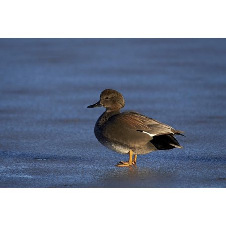 Gadwall (Anas Strepera) Male Standing on a Frozen Pond in the Winter Print Wall Art By James Hager - Ana Frozen