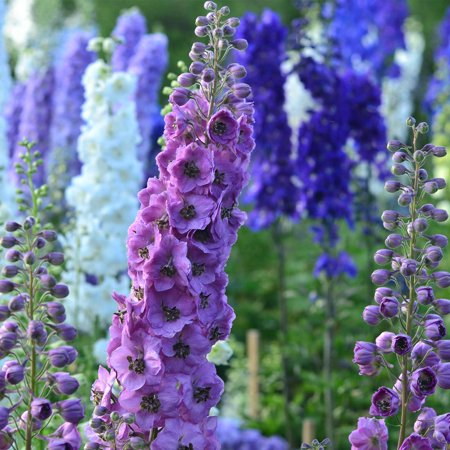 Delphinium pacific giant series flower seeds round table mix delphinium pacific giant series flower seeds round table mix 1000 seeds perennial flower garden seeds delphinium elatum walmart mightylinksfo