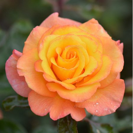 Laminated poster rose macro flower nature poster 24x16 for Rose adesive