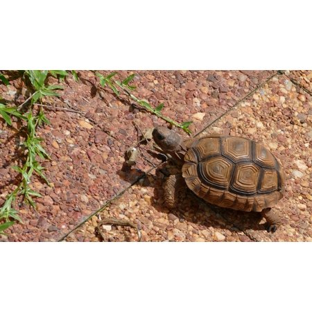 Walking Turtle (Canvas Print Tortoise Reptile Nature Turtle Animal Walking Stretched Canvas 10 x 14)