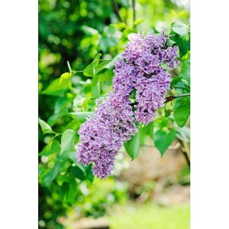 New Hampshire State Flower - Purple Lilac Journal: 150 Page Lined Notebook/Diary