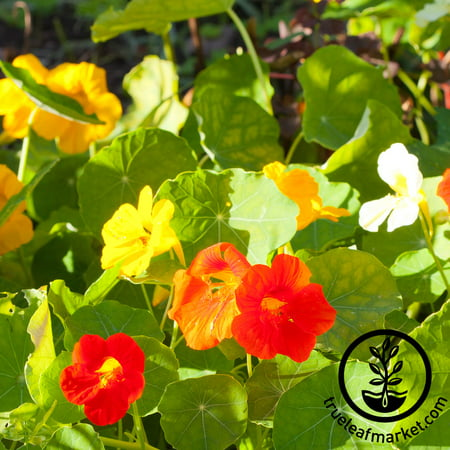 Grow Lights Seeds (Nasturtium Seeds - Alaska Mix - 1 Oz - Non-GMO Edible Flower Garden & Microgreens Seeds - Tropaeolum nanum - Grow Micro Greens )