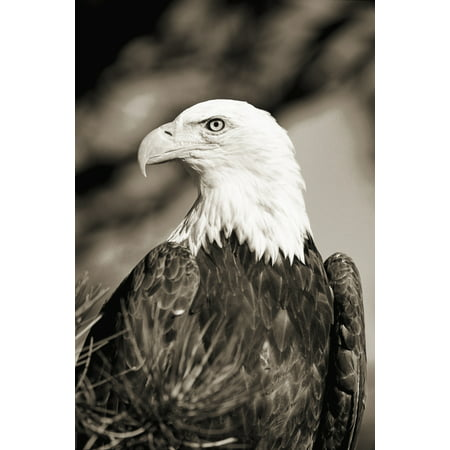 Colorado Close-up of Bald Eagle sitting in ponderosa pine tree with head turned (black and white photograph) Canvas Art - John Hyde  Design Pics (12 x 18)