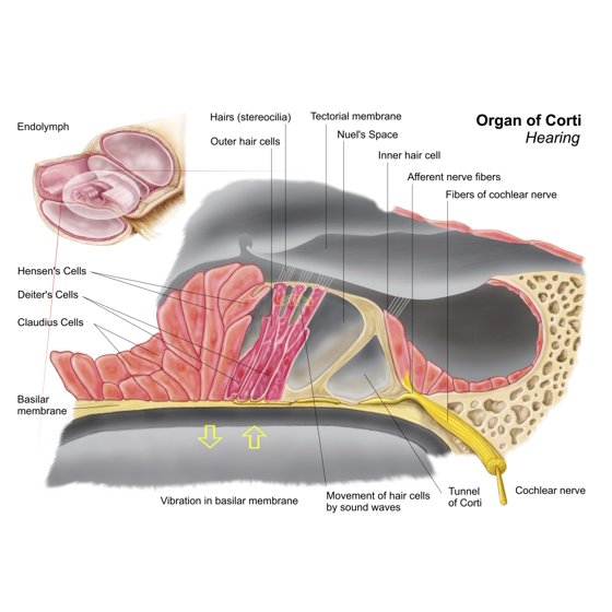 Anatomy of the organ of Corti part of the cochlea of the inner ear ...