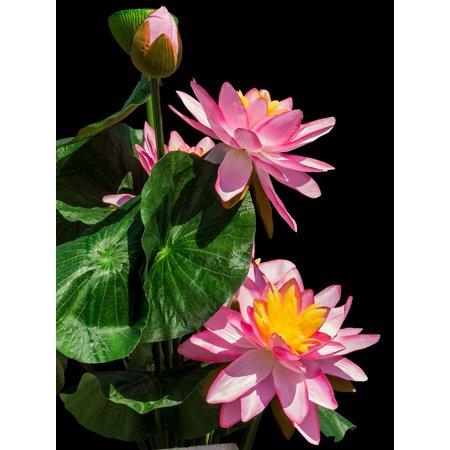 Laminated Poster Pink Lotus Lotus Flower Water Flower Lotus Flowers