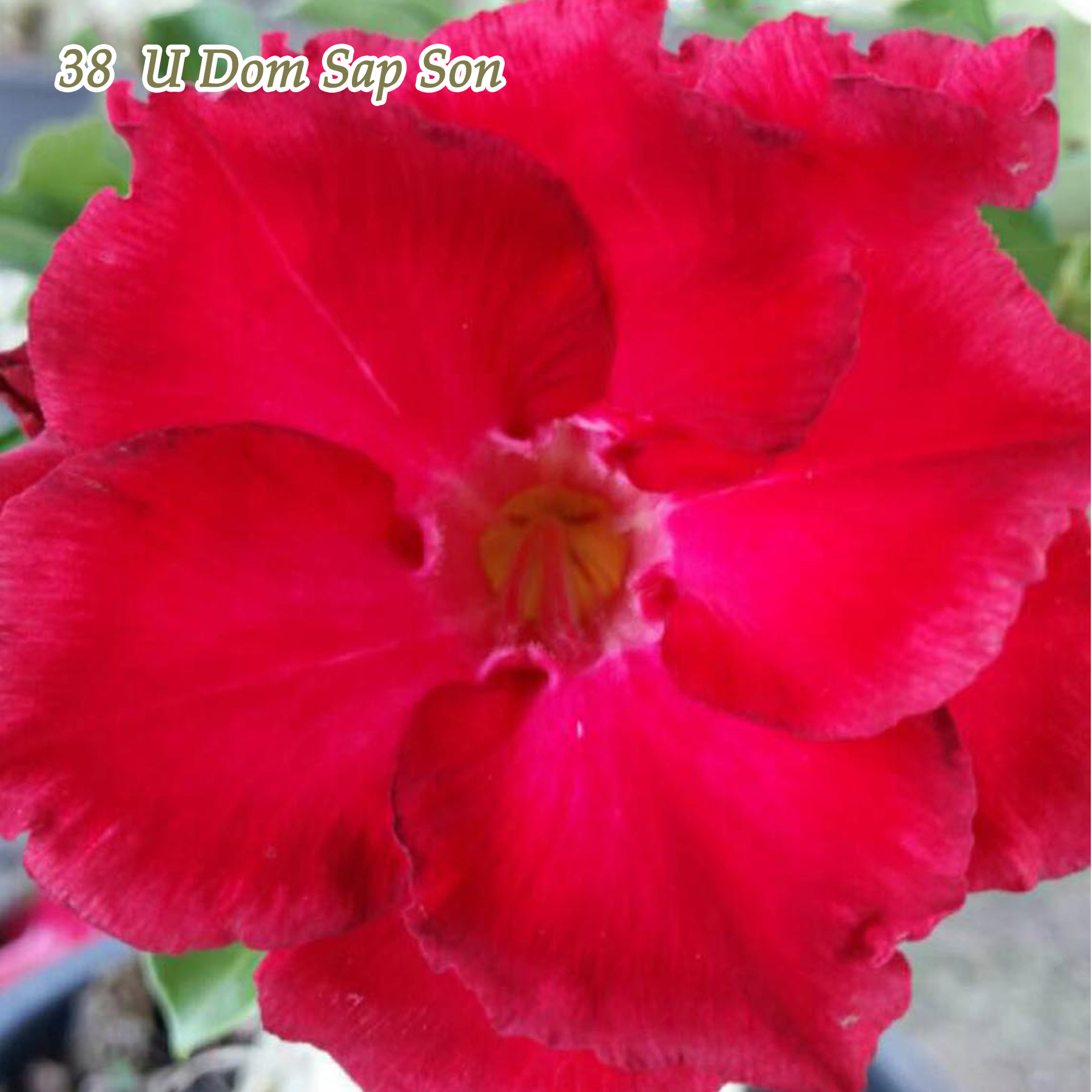 Desert Rose Plant Adenium obesum Mature Bonsai New Hybrids Easy Care by Bonsai Trees