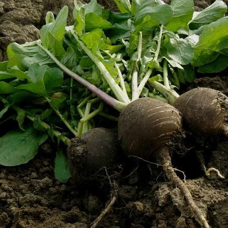 (Radish Garden Seeds - Black Spanish Round - 4 Oz - Non-GMO Vegetable Gardening Seeds by Mountain Valley)