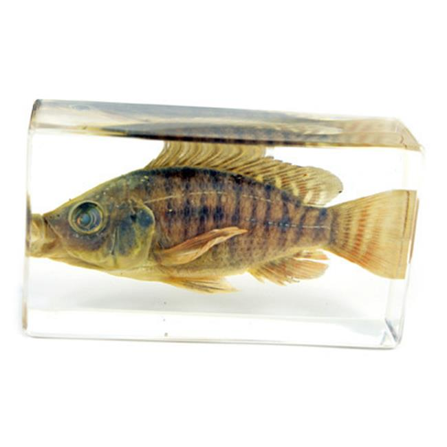 ED SPELDY EAST FH202 Paperweight  Fish  Medium   Nile Tilapia