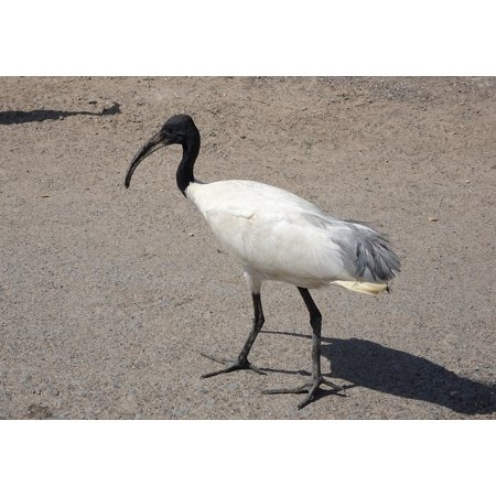 LAMINATED POSTER Bird Ibis Oriental White Ibis Black-headed Ibis Poster Print 24 x 36