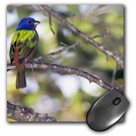 3dRose Mating Pair of Painted Bunting birds - US10 BFR0062 - Bernard Friel, Mouse Pad, 8 by 8 (Bunting Mat)