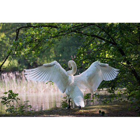 Swan Wing (Canvas Print Males Nature White Water Bird Wing Swan Stretched Canvas 10 x 14 )