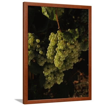 Carneros Chardonnay - Chardonnay Grapes in Vineyard, Carneros Region, California, USA Framed Print Wall Art By Green Light Collection