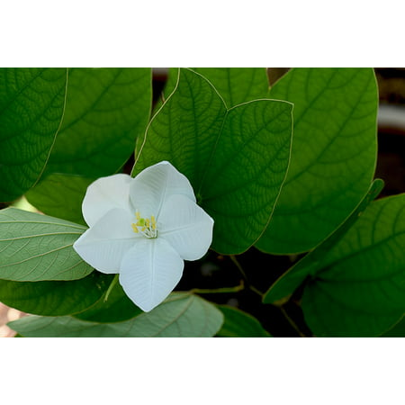 5 seeds- Dwarf White Orchid Tree -Snowy Orchid White Blooms -Ornamental tropical plant- zone 9+ or container plant - Bauhinia (Best Plants For Zone 9)