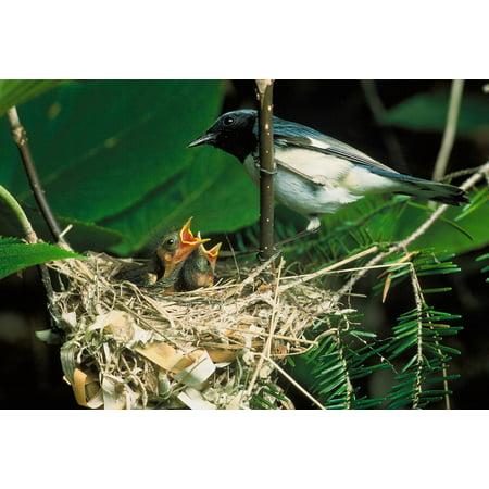 Framed Art for Your Wall Chicks Macro Bird Nest Blue-Throated Blue Warbler 10x13