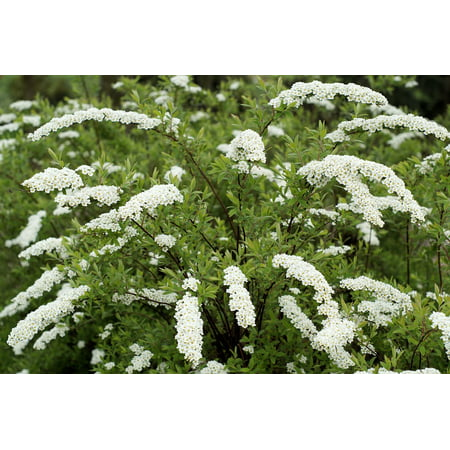Canvas Print Fragrant Hawthorn Plant Bush White Flowers Stretched