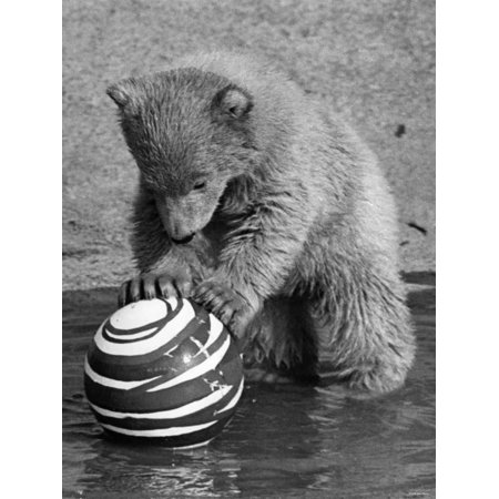 Pipaluk with Sally, His Mum, Playing with a Ball at London Zoo Today. March 1968 Print Wall Art - Halloween Balls London