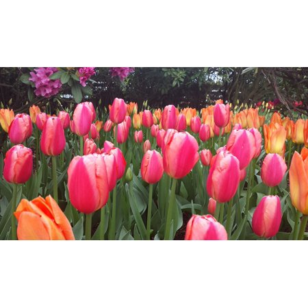 Canvas Print Wallpaper Flower Bulbs Orange Tulips Tulip Red Stretched Canvas 10 x 14