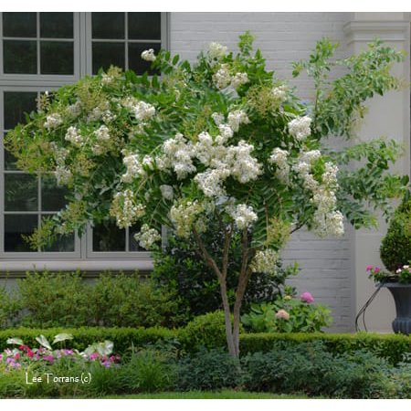 Acoma White Ornamental Flowering Crape Myrtles - 4 Live Plants - Quart Containers - 1 Foot Tall - Plant in Landscape and - Flowering Maple Plant