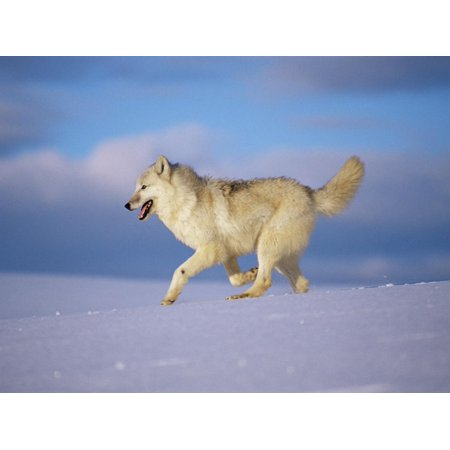 Arctic Grey Wolf, Running Through Snow, USA Print Wall Art By Lynn M. Stone