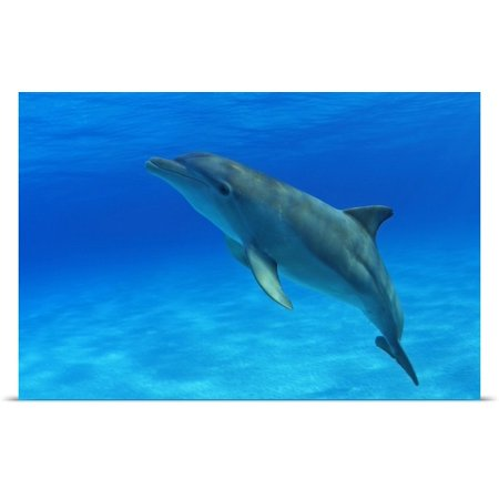 Great Big Canvas Dave Fleetham Poster Print Entitled Caribbean  Bahamas  Bahama Bank  Atlantic Bottlenose Dolphin