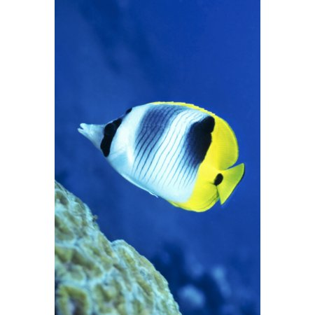 - A Butterflyfish swims up along a coral reef Papua New Guinea Canvas Art - Michael WoodStocktrek Images (23 x 35)