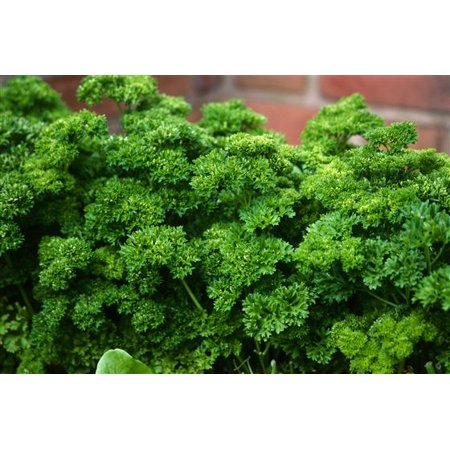 Image of Seeds Of Change Krausa Parsley