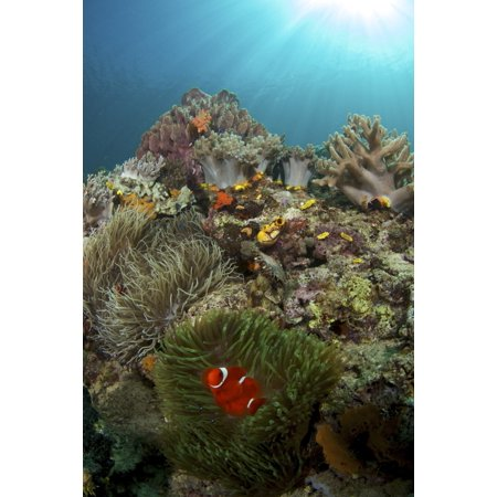Anemones and clownfish at Liguid Island Philippines Poster Print by VWPicsStocktrek - Clownfish Anemone