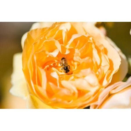 Bee Pollinating A Yellow Rose Beverly Hills Los Angeles County California Usa Poster Print By Panoramic Images  36 X 24