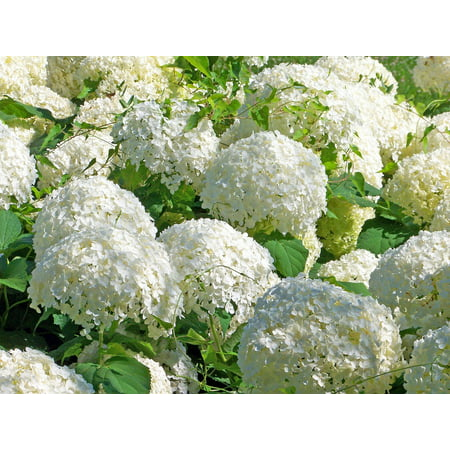 Laminated poster flowers snowball floral bush blossom white fresh laminated poster flowers snowball floral bush blossom white fresh poster 24x16 adhesive decal mightylinksfo