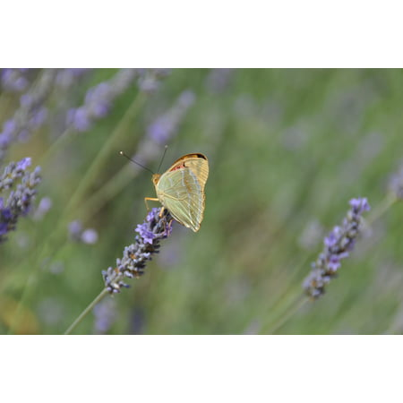 LAMINATED POSTER Flower Butterfly Flowers Nature Lavender Poster Print 24 x 36