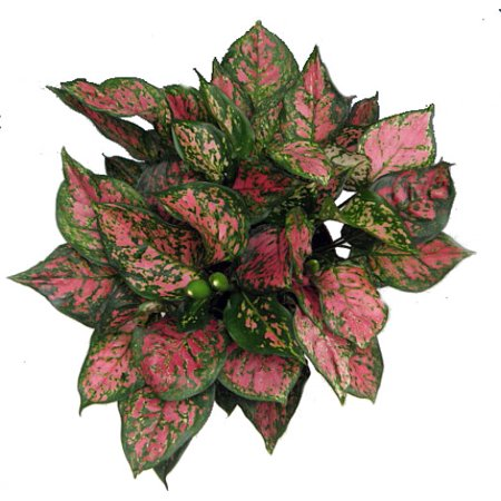 (Wishes Chinese Evergreen Plant - Aglaonema - Low Light - 6