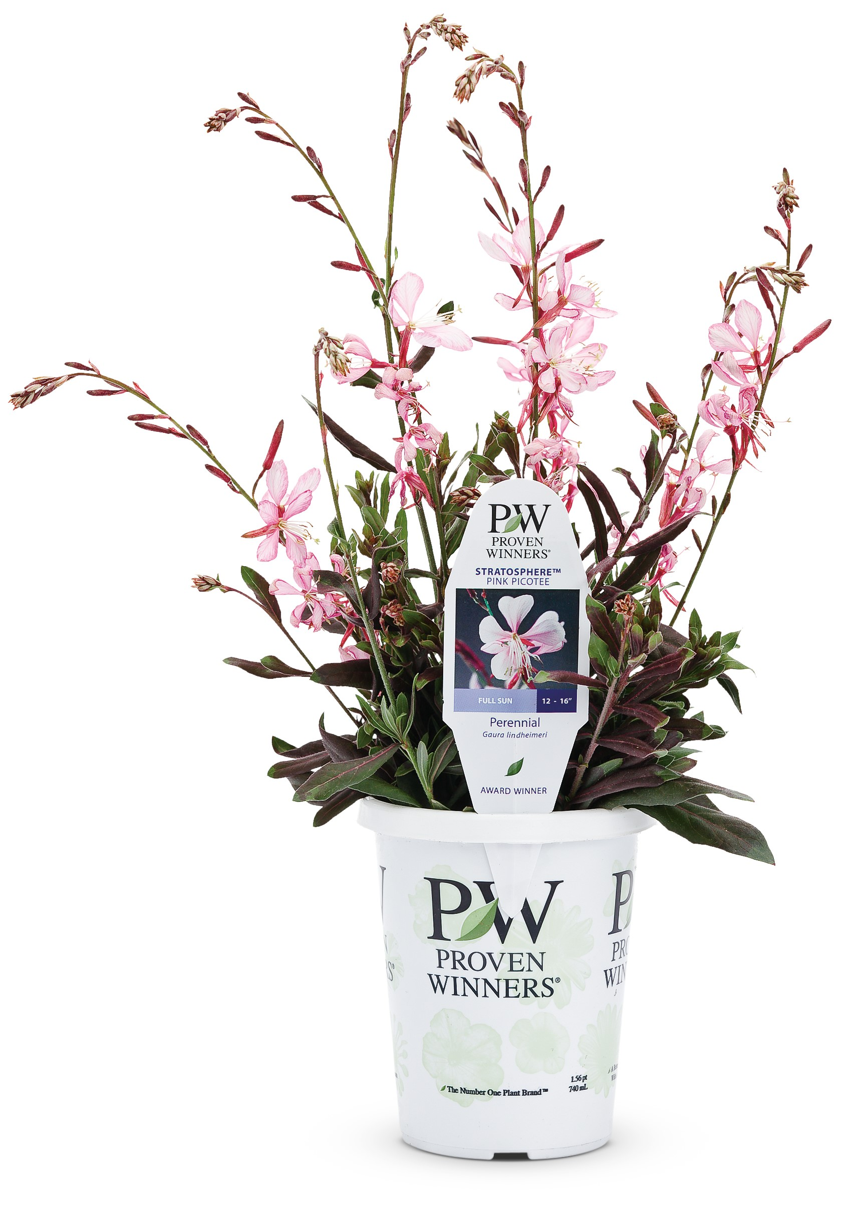Proven Winners Stratosphere Pink Picotee Butterfly Flower Gaura Live