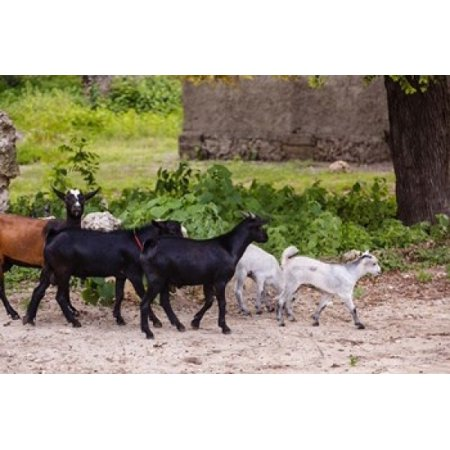Africa Mozambique Ibo Island Quirimbas Np Goats Running Down Path Canvas Art   Alida Latham  Danitadelimont  19 X 12