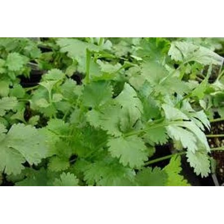 Cilantro Slow Bolting Also Known Ascoriander Chinese Parsley Great Herb Heirloom Vegetable 400