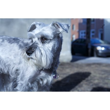 Laminated Poster Schnauzer Animal Adorable Pet Dog Small Canine Poster Print 24 x (Schnauzer Pets Cap)