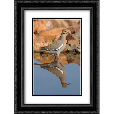 Non Puddle Light - White-winged Dove wading in puddle, Green Valley, Arizona 2x Matted 18x24 Black Ornate Framed Art Print by Vezo, Tom